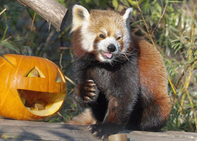 Schönbrunn zoo in Viena celebrates Halloween: Red pandas have pumpkins full of apples. (Photo by Daniel Zupanc/EuroPics/Schönbrunn Zoo)