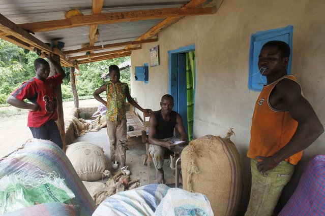 Farmers from Burkina Faso weigh sacks of cocoa in a village built inside the protected Gouin-Debe forest in Blolequin department, western Ivory Coast August 17, 2015. (Photo by Luc Gnago/Reuters)