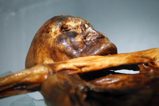 """This file photo taken on February 28, 2011 shows the mummy of an iceman named Oetzi, discovered on 1991 in the Italian Schnal Valley glacier, on display at the Archaeological Museum of Bolzano, Italy, during an official presentation of the reconstruction. When police heard about the frozen corpse up in the Alps in September 1991, they opened a criminal probe. Murder it was, but the crime was rather old – and the ultimate cold case. The dead man, found by hikers 25 years ago this week a snowball's throw from the Austrian-Italian border and put in a wooden coffin at a nearby police station, turned out to have died more than 5,000 years ago. Mummified in the ice, """"Otzi"""", as he was later nicknamed, was a sensation, providing invaluable scientific insights that a quarter of a century later show no sign of abating. (Photo by Andrea Solero/AFP Photo)"""