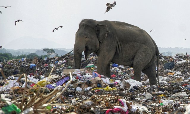 A elephant search food at a rubbish dump  in Oluvil, Sri Lanka in September 2020. Examination of dead elephants has revealed undigested polythene and other plastic waste. (Photo by Tharmaplan Tilaxan/Cover Images)