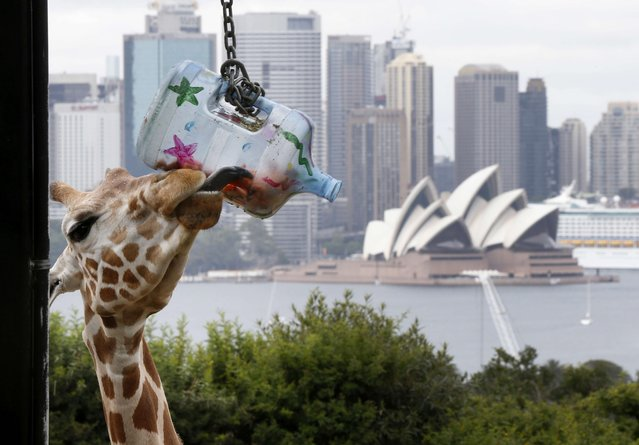 """A young giraffe uses its long tongue to reach into a container of carrots, a """"Christmas present"""" food treat, during a Christmas-themed feeding session at Sydney's Taronga Park Zoo, December 9, 2014. The giraffe enclosure at the zoo has panoramic views of Sydney's harbour and allows visitors the chance to get close and feed the zoo's tallest animals which are native to Africa. (Photo by Jason Reed/Reuters)"""