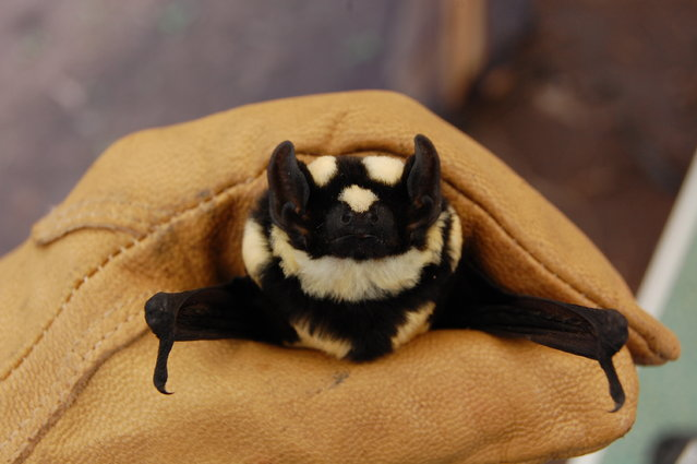 New Genus Of Bat Niumbaha superba