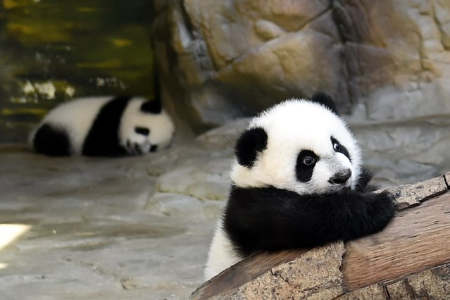 Two of the panda triplets play in the Chimelong Wildlife Park in Guangzhou in south China's Guangdong province, 09 December 2014. (Photo by Wilson Wen/EPA)