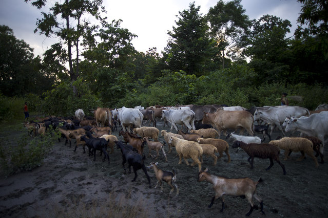 In this September 11, 2014 photo, herds of cattle, goats and sheep walk over asbestos sediments as they return after grazing at Roro hills in Roro, India. (Photo by Saurabh Das/AP Photo)