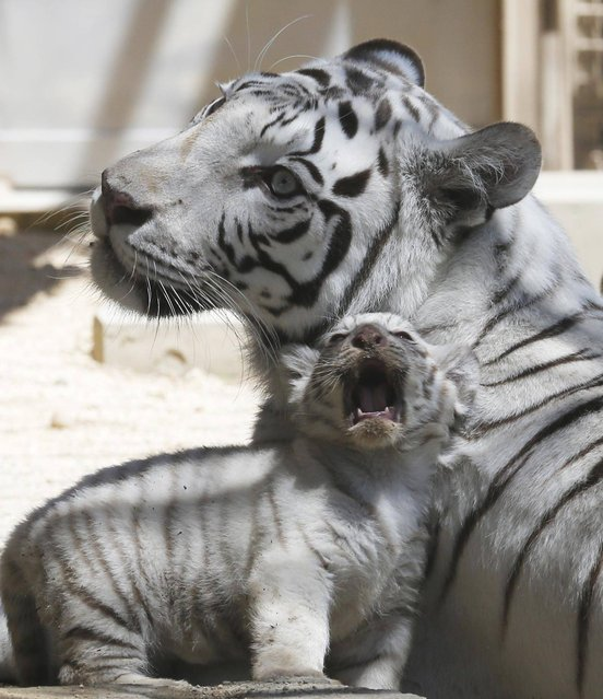 A 7-year-old white tiger sits with one of her cubs at Tobu Zoo in Miyashiro, near Tokyo, Thursday, May 2, 2013. Four newborn white tiger cubs made their first public appearance at the zoo on Thursday. The four cubs – one female and three males – were born 46 days ago. (Photo by Koji Sasahara/AP Photo)