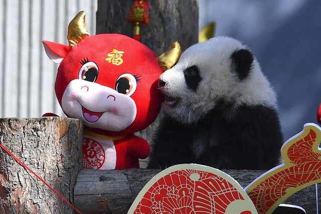 A baby panda climbs on a display for the upcoming Lunar New Year of the Ox at the China Conservation and Research Center for the Giant Panda at the Wolong Nature Reserve in southwestern China's Sichuan province, Wednesday, February 3, 2021. Ten baby pandas made their debut in China's leading panda reserve in the country's southwest on Wednesday morning ahead of the Lunar New Year. (Photo by Chinatopix via AP Photo)