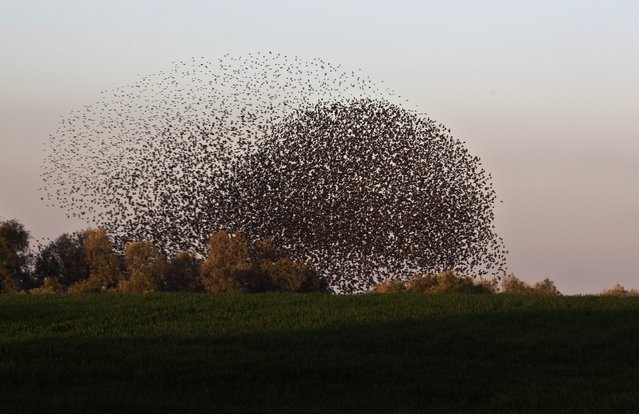Migrating starlings fly in a formation near the southern Israeli town of Rahat February 2, 2015. The phenomenon, known as murmuration, is most common during the winter months. (Photo by Nir Elias/Reuters)