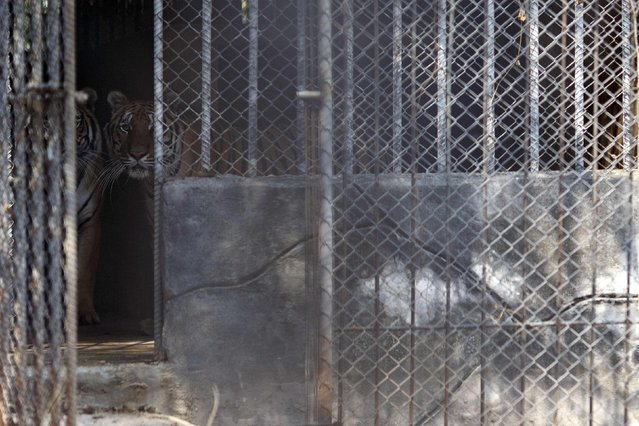 Tigers stand inside a cage at the Wat Pa Luang Ta Bua, otherwise known as the Tiger Temple, in Kanchanaburi province February 12, 2015. (Photo by Athit Perawongmetha/Reuters)