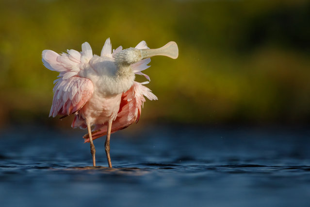 Best portfolio winner. Roseate Spoonbill, Platalea ajaja, by Petr Bambousek, Czech Republic. (Photo by Petr Bambousek/2018 Bird Photographer of the Year)