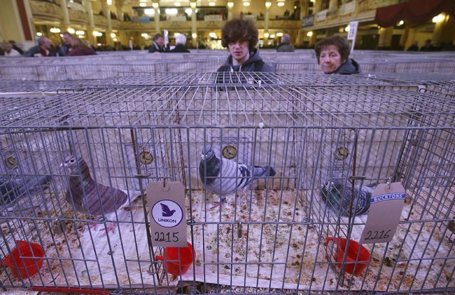 Visitors view pigeons on show during the British Homing World show of the year at Blackpool's Winter Gardens in Blackpool, north west England on January 17, 2016. (Photo by Andrew Yates/Reuters)