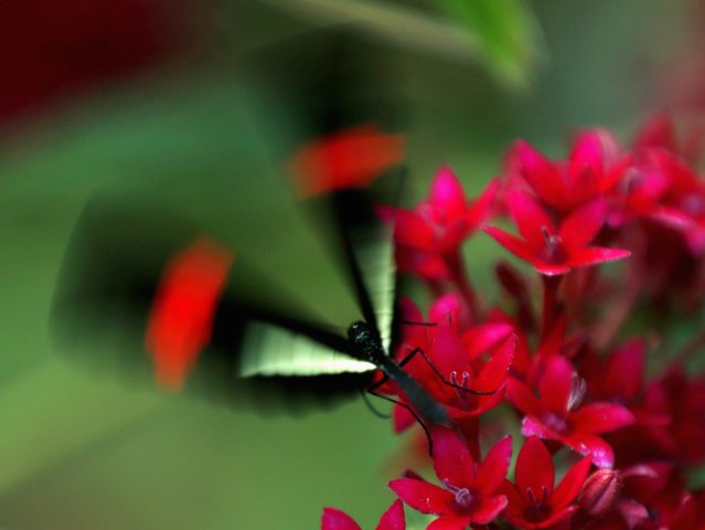 A postman butterfly leaves a flower as it and hundreds of other butterflies from around the world fill the bird aviary for the next month at the San Diego Zoo Safari Park in San Diego, California March 13, 2015. (Photo by Mike Blake/Reuters)