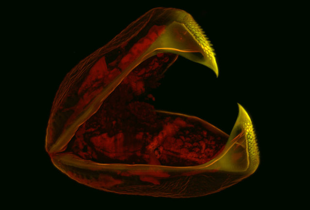 Image of Distinction: A 60X view of a clam glochidia (larva), by Mark A. Sanders, of the University Imaging Centers, University of Minnesota. (Photo by Mark A. Sanders)