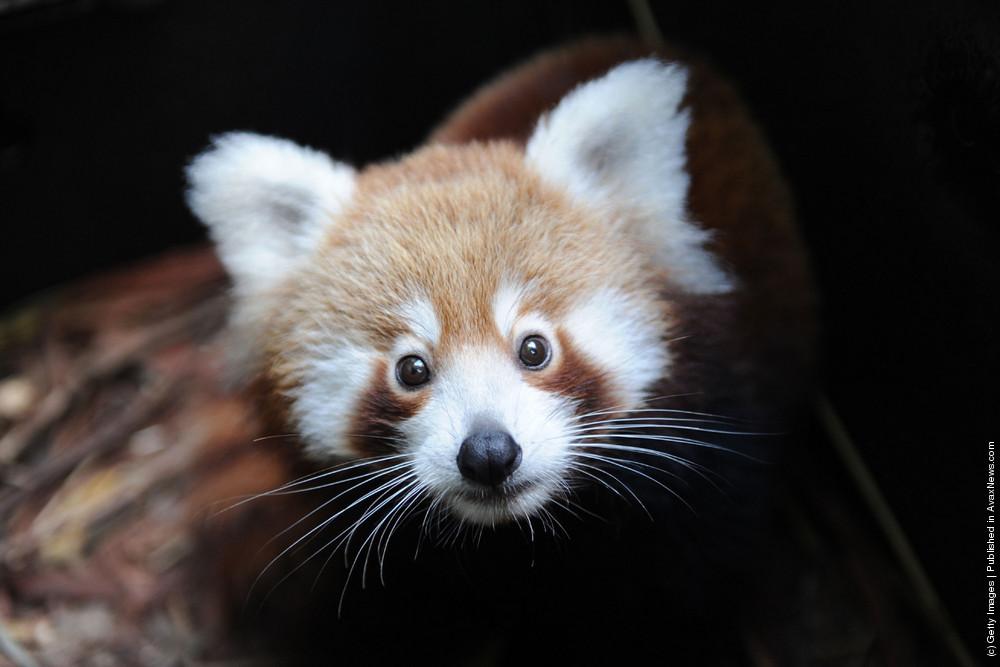 Taronga Zoo Welcomes Baby Red Panda