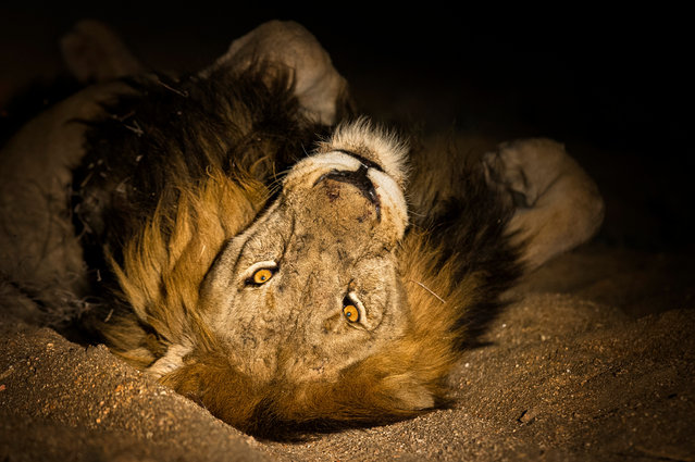 A lion rolls around in the rough sand. (Photo by Brendon Cremer/Caters News)