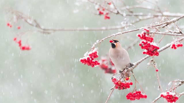 Ecology and environmental science winner: Waxwing and Rowanberries in the Snow by Alwin Hardenbol. Bohemian waxwings ( Bombycilla garrulus) lust after rowanberries in winter. This one came to the trees outside the photographer's office in Finland. (Photo by Alwin Hardenbol/University of Eastern Finland/Royal Society Publishing Photography Competition 2018)