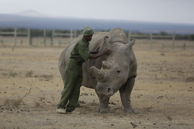 """Keeper Zachariah Mutai attends to Fatu, one of only two female northern white rhinos left in the world,  in the pen where she is kept for observation, at the Ol Pejeta Conservancy in Laikipia county in Kenya March 2, 2018. The health of the sole remaining male northern white rhino, 45-year-old Sudan who also lives at Ol Pejeta, is deteriorating and his minders said Thursday that his """"future is not looking bright"""". (Photo by Sunday Alamba/AP Photo)"""