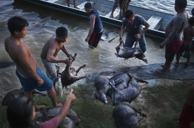 Xikrin hunters offload a large haul of peccary to be cleaned in the river in the remaining light of day. For the next few days, the villagers will eat mostly peccary so that the meat will not go to waste. (Taylor Weidman)