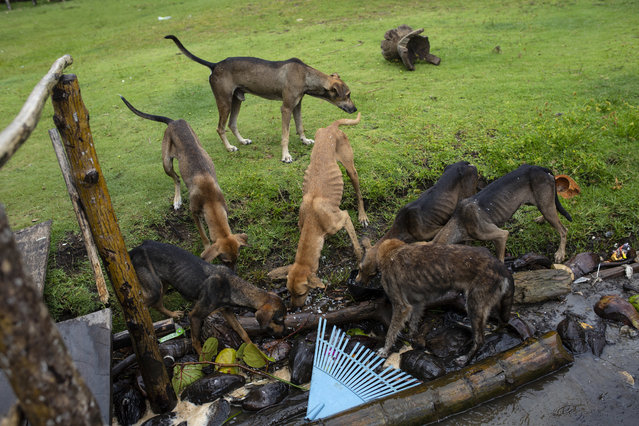 In this September 2, 2018 photo, dogs eat scraps left by family and friends attending the funeral of Miskito diver Oscar Salomon Charly, in Cabo Gracias a Dios, Nicaragua. The 31-year-old, who was diving for lobster in Honduras, died after he was stricken with a severe case of decompression sickness. (Photo by Rodrigo Abd/AP Photo)