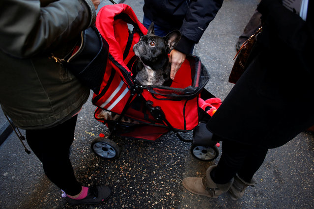 A dog sits in a push-chair after a mass outside San Anton Church in Madrid, Spain, January 17, 2017. (Photo by Juan Medina/Reuters)