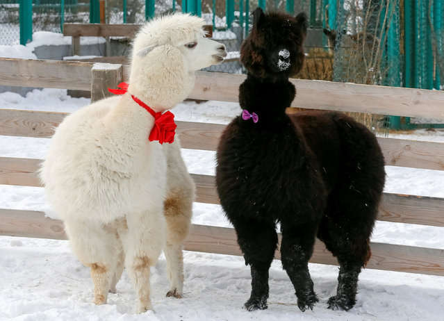 Alpacas, male Romeo (L) and female Juliette, decorated for Valentine's Day walk inside their open air enclosure at the Roev Ruchey Zoo in Krasnoyarsk, Russia February 14, 2019. (Photo by Ilya Naymushin/Reuters)