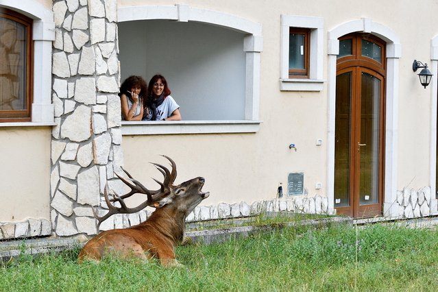 A wild stag is seen lying on the lawn of a holiday rental home as holidaymakers look on in surprise in Villetta Barrea, August 25, 2021. (Photo by Flavio Lo Scalzo/Reuters)