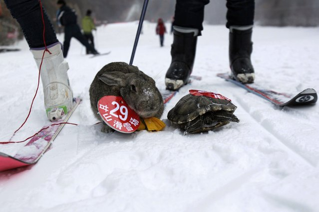 This picture taken on January 12, 2014 shows a pet rabbit and a pet tortoise competing in a skiing competition held for pets and their owners in Sanmenxia, north China's Henan province. (Photo by AFP Photo)