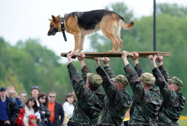 A Belarussian military dog rides a platform being held by a group of soldiers carrying it above their heads in Minsk on May 19, 2009 during the country's annual military expo and arms fair. (Photo by Viktor Drachev/AFP Photo)