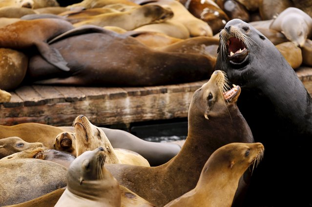 Sea lions gather on a floating dock at Pier 39 in San Francisco, California May 4, 2015. Hundreds of sea lions began hauling out on the docks following the Loma Prieta earthquake of 1989, and face no natural predators at the pier. (Photo by Robert Galbraith/Reuters)