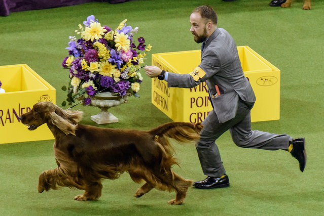 Vermillion's Sea Breeze (Adrian), an Irish Setter, wins the Sporting group at the 141st Westminster Kennel Club Dog Show, in New York City, U.S. February 14, 2017. (Photo by Stephanie Keith/Reuters)