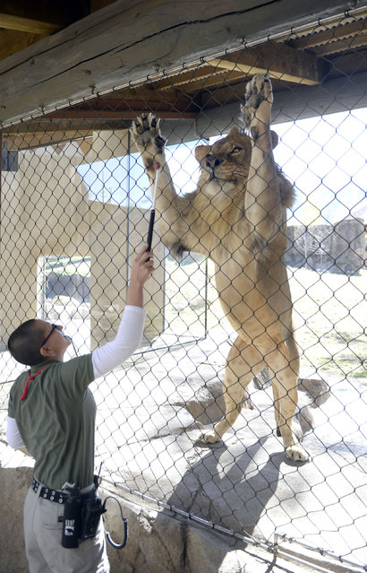 Hogle Zoo lion trainer Tonya Matelski uses food and conditioning in training one of the two recently acquired young male lions in the Zoo's new Lions' Hill exhibit, in Salt Lake City, Thursday May 1, 2014. The large enclosure has heated concrete, cool grottos, and a hill with perching rocks. Lions' Hill will be open for the public tomorrow. The larger part of African Savannah will open late May. (Photo by Al Hartmann/AP Photo/The Salt Lake Tribune)