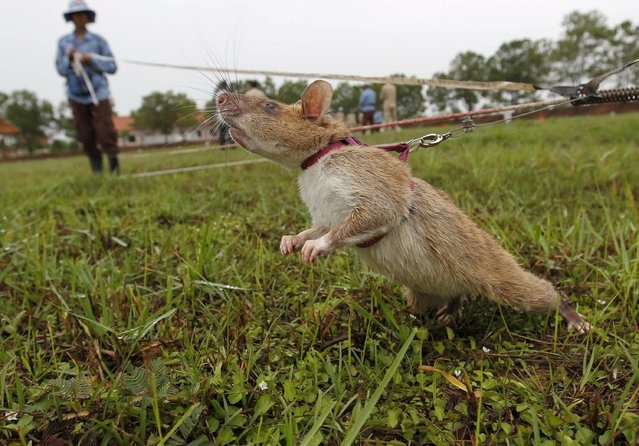A rat being trained by the Cambodian Mine Action Centre (CMAC) is pictured on an inactive landmine field in Siem Reap province July 9, 2015. Gambian pouched rats were deployed to Cambodia from Tanzania in April by a Belgian non-profit organization, APOPO, to help clear mines. (Photo by Samrang Pring/Reuters)