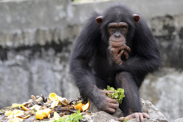 A chimpanzee holds a lettuce at the zoo in Abidjan on June 12, 2014. The zoo is home to approximately 250 amimals of 42 species. (Photo by Sia Kambou/AFP Photo)