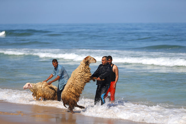 Palestinian bedouin shepherds pull their lambs into the water to wash them, in Gaza City, on April 29, 2016. Every year before the beginning of the summer, shepherds wash their herds in the sea. (Photo by Mohammed Abed/AFP Photo)