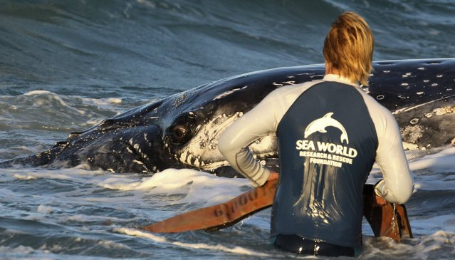 A marine rescue worker from Sea World works in a joint attempt with his colleagues to help a juvenile humpback whale stranded at Palm Beach on the Gold Coast, in Queensland July 9, 2014. (Photo by Jason O'Brien/Reuters)