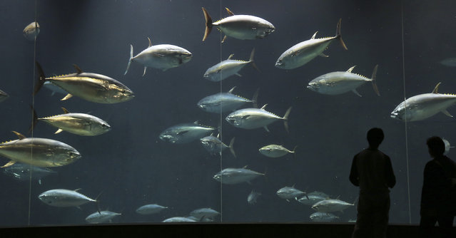 Visitors stand watch blue fin tunas in a 2,200-ton tank at Tokyo Sea Life Park in Tokyo, Monday, July 7, 2014. The tank is designed to create artificial flow of the ocean to keep the fish alive. (Photo by Koji Sasahara/AP Photo)