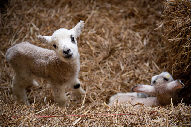 Students help with the newborn spring lambs at Moreton Morrell college in Warwick, England on March 18, 2020. (Photo by Jacob King/PA Images via Getty Images)
