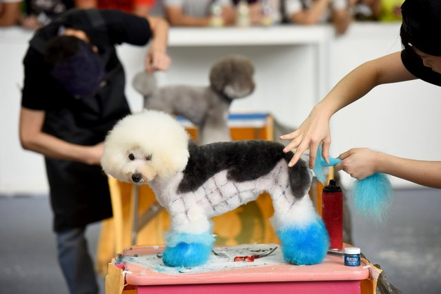 A dog groomer prepares a model dog during the 2nd Annual Shenzhen International Pet Exhibition, July 14, 2016, in Shenzhen, China. The pet exhibition runs from July 14 - 17, 2016 at the Shenzhen Convention & Exhibition Center. (Photo by VCG/Getty Images)
