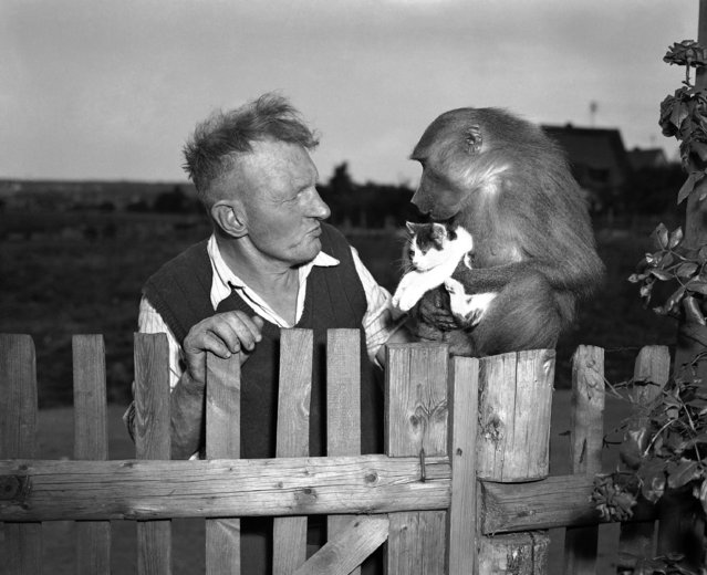 Leonhard Nienbling is shown with his 6-month old pet baboon Jackl, who holds a 6-month old kitten, its playmate, June 29, 1952. Niebling has quite an animal collection at his home in Zirndorf, Germany. (Photo by Heinrich Sanden/AP Photo)