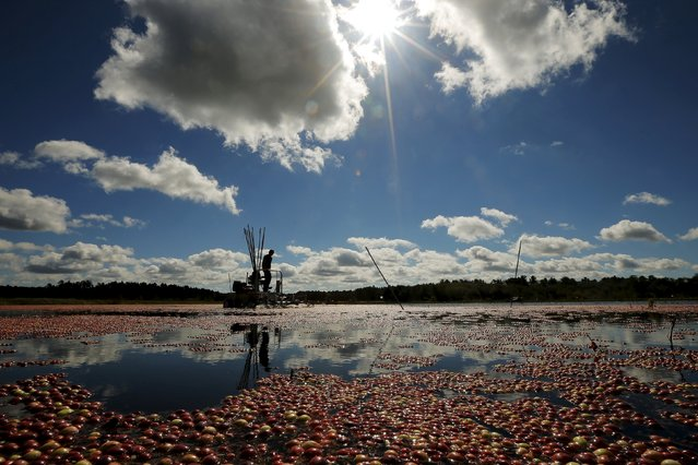 Workers harvest cranberries in a bog at Gilmore Cranberry Company in Carver, Massachusetts September 14, 2015, the beginning of the cranberry harvesting season.  According to the Cape Cod Cranberry Growers' Association, 200,000,000 pounds of cranberries are grown annually in Massachusetts. (Photo by Brian Snyder/Reuters)