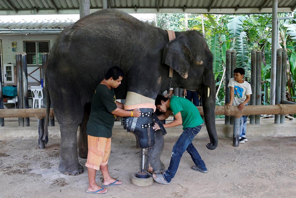 Elephant Gets New Leg