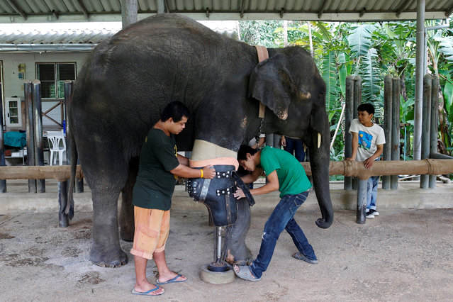 Mosha, the elephant that was injured by a landmine, has her prosthetic leg attached at the Friends of the Asian Elephant Foundation in Lampang, Thailand, June 29, 2016. Mosha was 7 months old when she stepped on a land mine near Thailand's border with Myanmar and lost a front leg. That was a decade ago. Mosha is one of more than a dozen elephants who have been wounded by land mines in the border region, where rebels have been fighting the Myanmar government for decades. She was the first elephant to be fitted with a prosthetic limb at the hospital near Lampang. Mosha weighed about 1,300 pounds (590 kg) when she was wounded. (Photo by Athit Perawongmetha/Reuters)