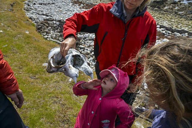 Xenia Cleminson, 3, curiously peers at an elephant seal skull found during an beach excursion on Sunday, February 7, 2016, on Elephant Beach, Falkland Islands.  Xenia is the daughter of Falklands Conservation's CEO, Esther Bertram.  The child was one of more than 30 children who visited the beach that day to pick up trash as part of Falklands Conservation's Watch Group, an environmental organization that takes kids on field trips and camping excursions. (Photo by Jahi Chikwendiu/The Washington Post)
