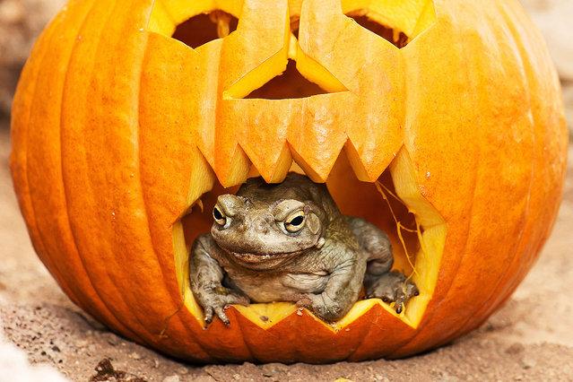 Schönbrunn zoo in Viena celebrates Halloween with pumpkins. (Photo by Daniel Zupanc/EuroPics/Schönbrunn Zoo)