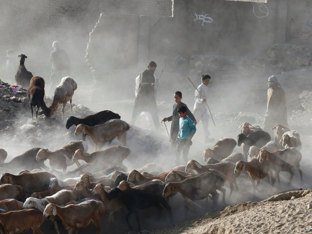 Afghan herd sellers lead a group of animals for sale at a livestock market, ahead of the Eid al-Adha, in Kabul, Afghanistan September 9, 2016. (Photo by Omar Sobhani/Reuters)