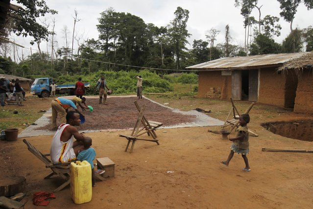 Farmers from Burkina Faso dry cocoa beans in a village built inside the protected Gouin-Debe forest in Blolequin department, western Ivory Coast August 17, 2015. (Photo by Luc Gnago/Reuters)