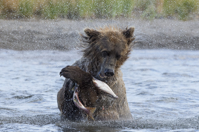 """Shake Down"". This Grizzly bear shakes it's salmon prey after pouncing on it in the creek. Photo location: Katmai, Alaska. (Photo and caption by Mark Davies/National Geographic Photo Contest)"