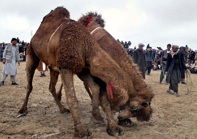 Camels fight in Mazar-i-Sharif, north of Kabul, Afghanistan. Camel fighting is popular in the north of the country. (Photo by Mustafa Najafizada/Associated Press)