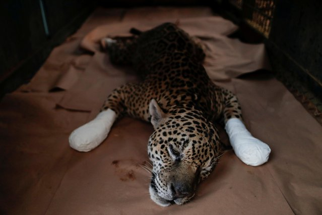 An adult male jaguar named Ousado rests during treatment for burn injuries on his paws after a fire in Pantanal, at NGO Nex Institute in Corumba de Goias, Goias State, Brazil, September 19, 2020. (Photo by Ueslei Marcelino/Reuters)