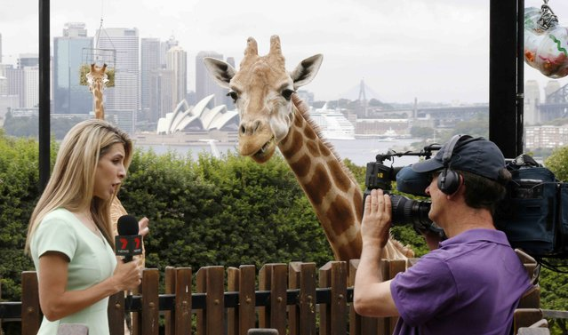 """Local TV reporter Samantha Brett attracts the attention of a young giraffe, as it eats a """"Christmas present"""" of food treats, during a Christmas-themed feeding session at Sydney's Taronga Park Zoo, December 9, 2014. (Photo by Jason Reed/Reuters)"""