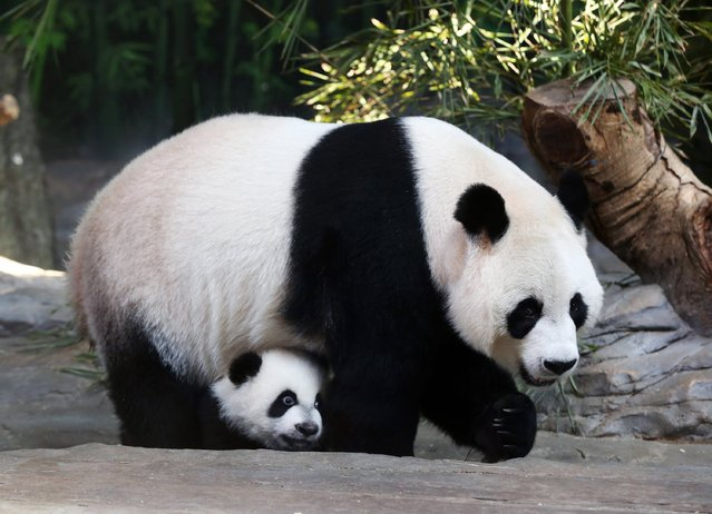 Mother giant panda Juxiao is seen with one of her triplets at Chimelong Safari Park in Guangzhou, Guangdong province, December 9, 2014. According to local media, this is the fourth set of giant panda triplets born with the help of artificial insemination procedures in China, and the birth is seen as a miracle due to the low reproduction rate of giant pandas. (Photo by Reuters/Stringer)